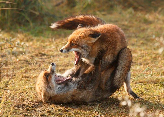 Драка лисиц
