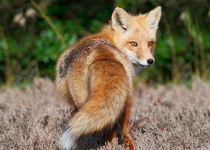 Горная лисица