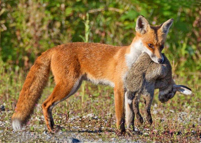 Охота лисицы