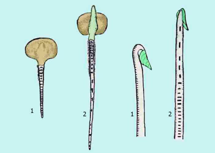 Растущие зоны стебля и корня